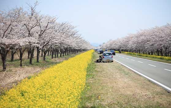 「桜と菜の花ロード」の写真
